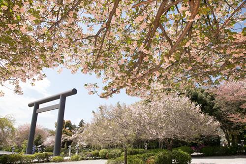 さくら咲く 櫻の宮に詣づれば大神の恵みいただき大願開花